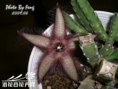 高天角(Stapelia gettliffei)图片
