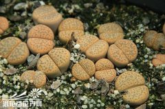 微纹玉(Lithops fulviceps)图片